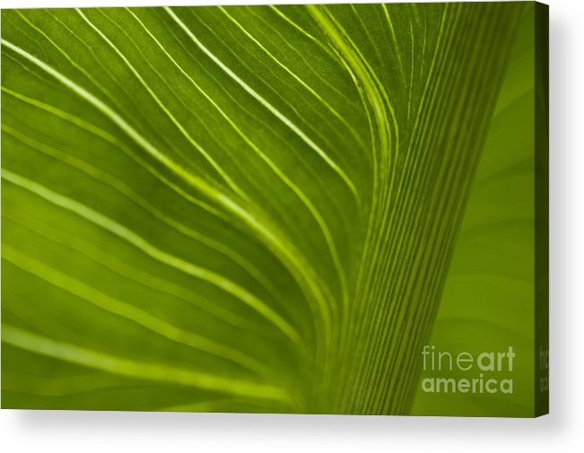 Beauty Acrylic Print featuring the photograph Calla Lily Stem Close Up by Jim Corwin