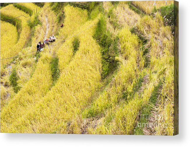 Rice Acrylic Print featuring the photograph Farmers At Rice Field by Tuimages