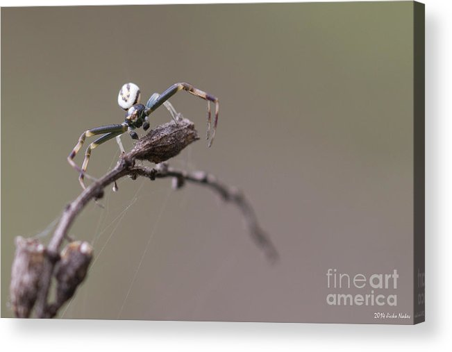 Bulgaria Acrylic Print featuring the photograph Goldenrod Crab Spider Male by Jivko Nakev