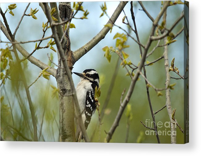 Animal Acrylic Print featuring the photograph Hairy Woodpecker by Linda Freshwaters Arndt