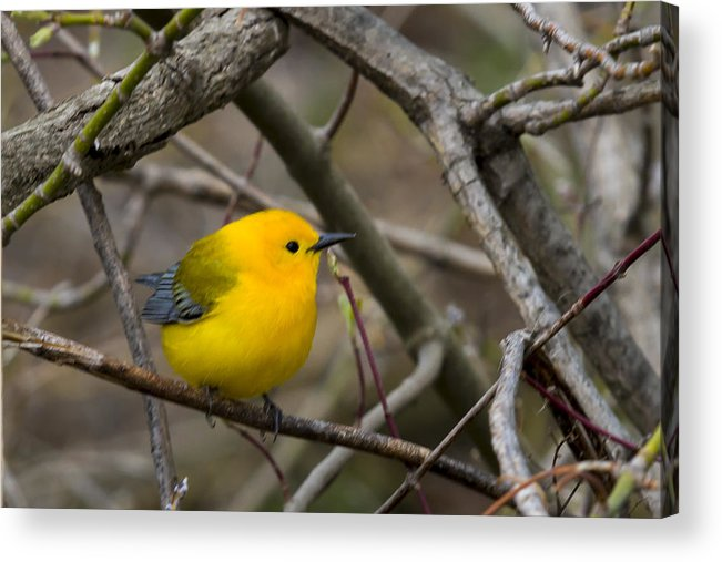 Animal Acrylic Print featuring the photograph Prothonotary Warbler by Jack R Perry