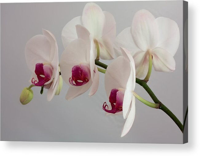 Orchid Acrylic Print featuring the photograph White Orchids by Shirley Mitchell