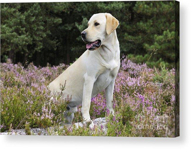 Labrador Retriever Acrylic Print featuring the photograph Yellow Labrador Retriever by John Daniels
