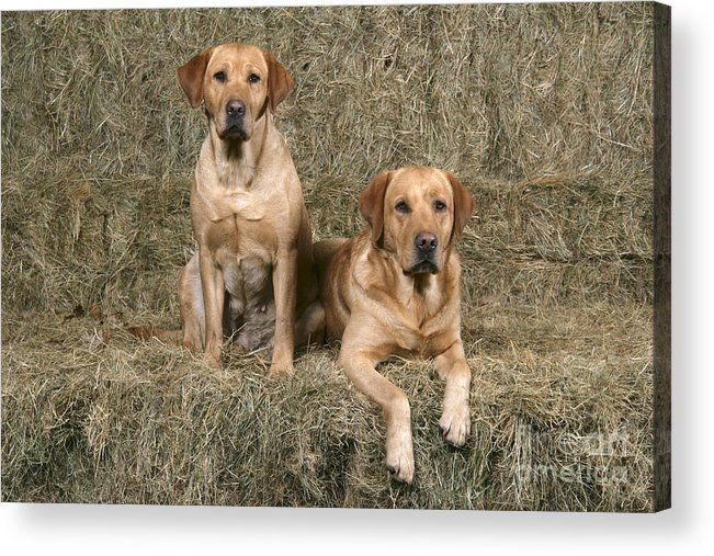 Dog Acrylic Print featuring the photograph Yellow Labrador Retrievers by John Daniels