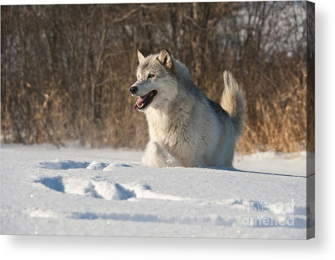 Canis Lupus Acrylic Print featuring the photograph Wolf In Winter by John Shaw