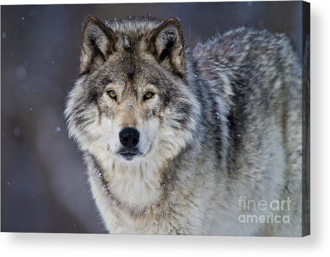 Michael Cummings Acrylic Print featuring the photograph Timber Wolf by Michael Cummings