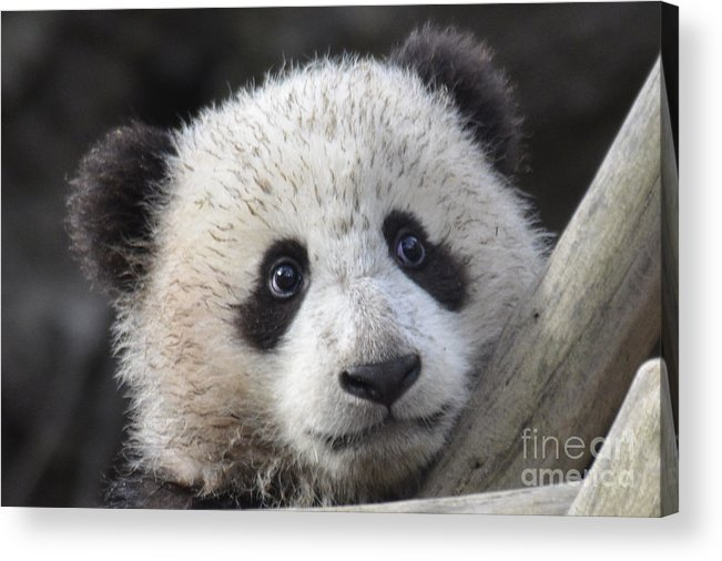 Nature Acrylic Print featuring the photograph Baby Giant Panda by Mark Newman