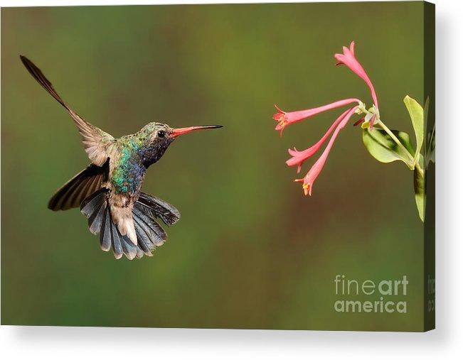 Birds Acrylic Print featuring the photograph Broad Billed Hummingbird by Scott Linstead
