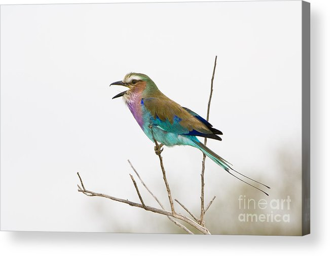 African Fauna Acrylic Print featuring the photograph Lilac-breasted Roller by John Shaw
