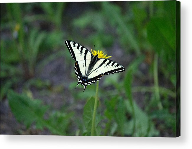 Butterfly Acrylic Print featuring the photograph Sitting Pretty by Linda Kerkau