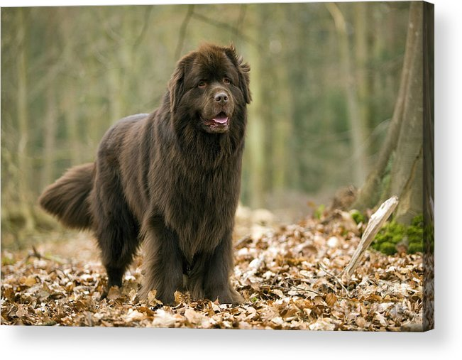 Newfoundland Acrylic Print featuring the photograph Newfoundland Dog by Jean-Michel Labat