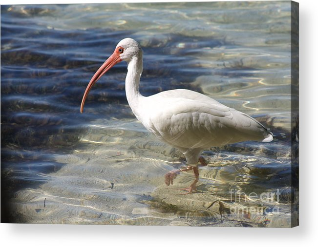 Ibis Acrylic Print featuring the photograph White Ibis by Christiane Schulze Art And Photography