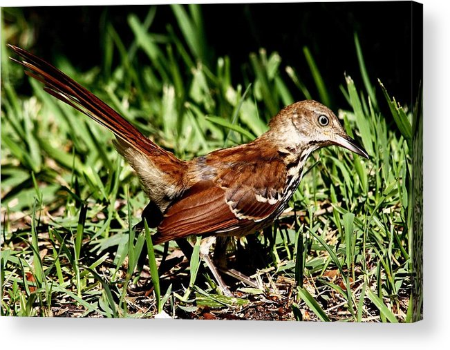 Alert Acrylic Print featuring the photograph Brown Thrasher by Ira Runyan