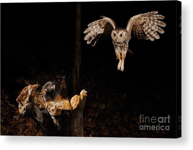 Screech Owl Acrylic Print featuring the photograph Eastern Screech Owl by Scott Linstead