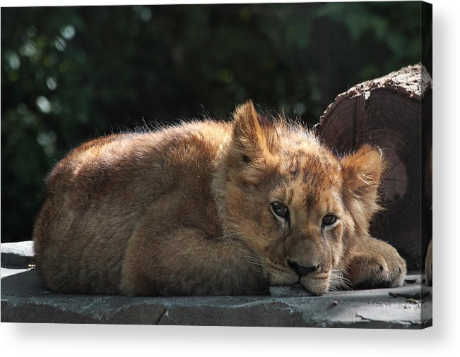 Lion Acrylic Print featuring the photograph A Brief Naptime Pause by Theo OConnor