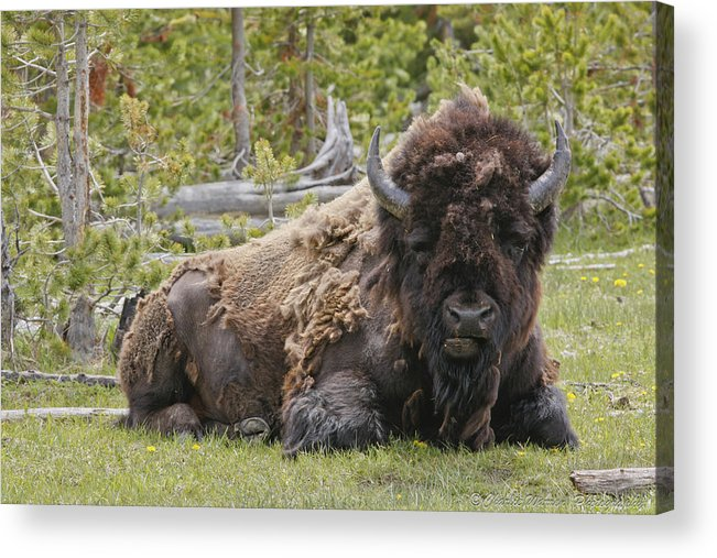 Buffalo Acrylic Print featuring the photograph A Lot Of Bull by Charles Warren