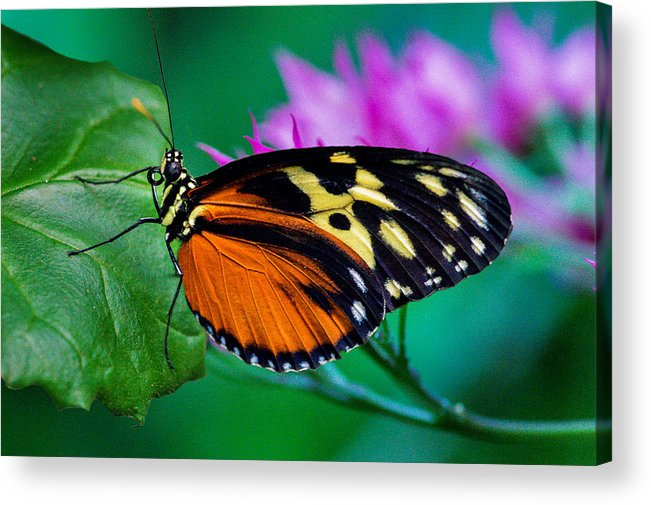 Butterfly Acrylic Print featuring the photograph A Splash Of Colour by Garvin Hunter