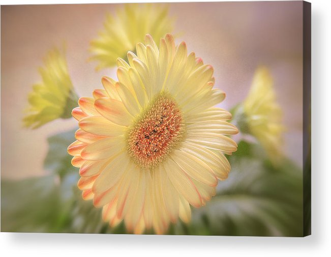 Flowers Canvas Acrylic Print featuring the photograph A Touch Of Sunshine by Fiona Messenger