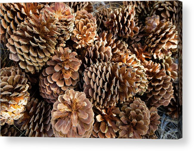 Photography Acrylic Print featuring the photograph Acorns Growing On Plants by Panoramic Images