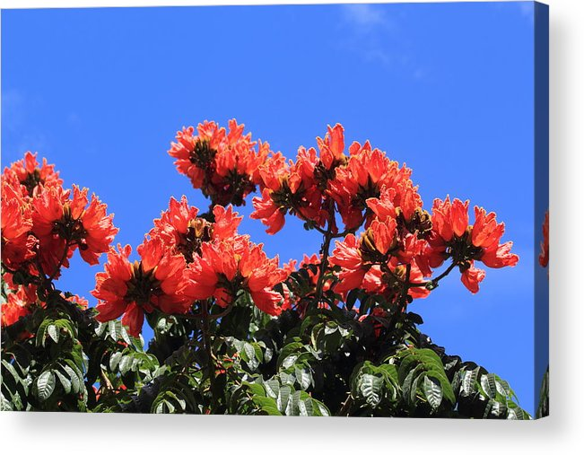 African Tulip Tree Acrylic Print featuring the photograph African Tulip Tree by Shane Bechler