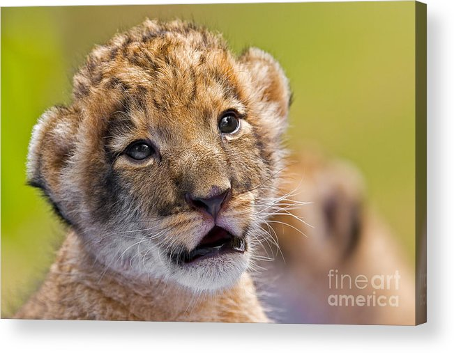 Khao Kheow Open Zoo Acrylic Print featuring the photograph Age Of Innocence by Ashley Vincent
