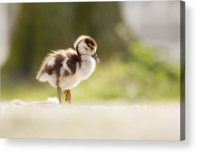 Alopochen Aegyptiacus Acrylic Print featuring the photograph All Alone - Egyptean Gosling And A Tree by Roeselien Raimond