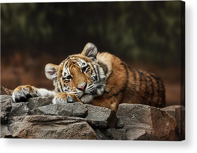 Amur Tiger Cub Acrylic Print featuring the photograph Amur Tiger Twin by Theo OConnor