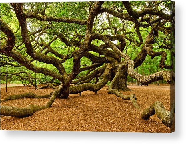 Nature Acrylic Print featuring the photograph Angel Oak Tree Branches by Louis Dallara