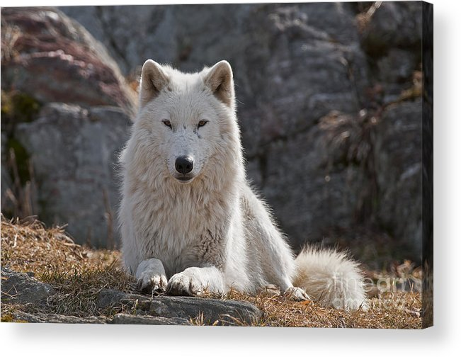 Arctic Wolf Greeting Cards Acrylic Print featuring the photograph Arctic Wolf Pictures 518 by World Wildlife Photography