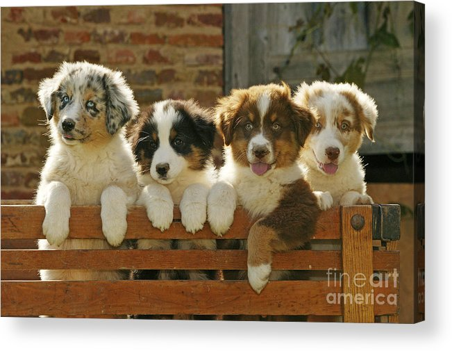 Australian Sheepdog Acrylic Print featuring the photograph Australian Sheepdog Puppies by Jean-Michel Labat