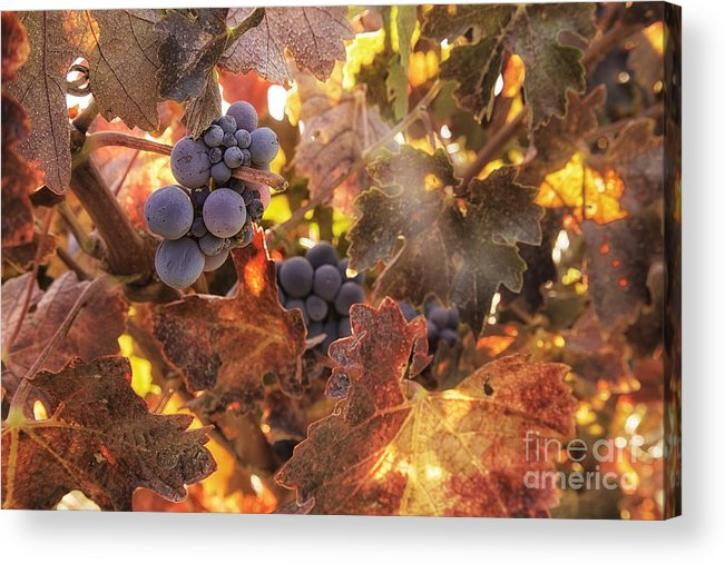 Michele Acrylic Print featuring the photograph Autumn In The Vineyard by Michele Steffey