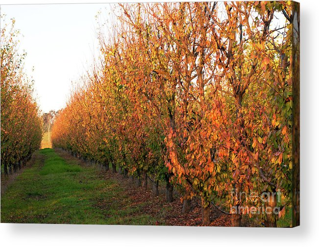 Autumn Acrylic Print featuring the photograph Autumn Orchard by Rick Piper Photography