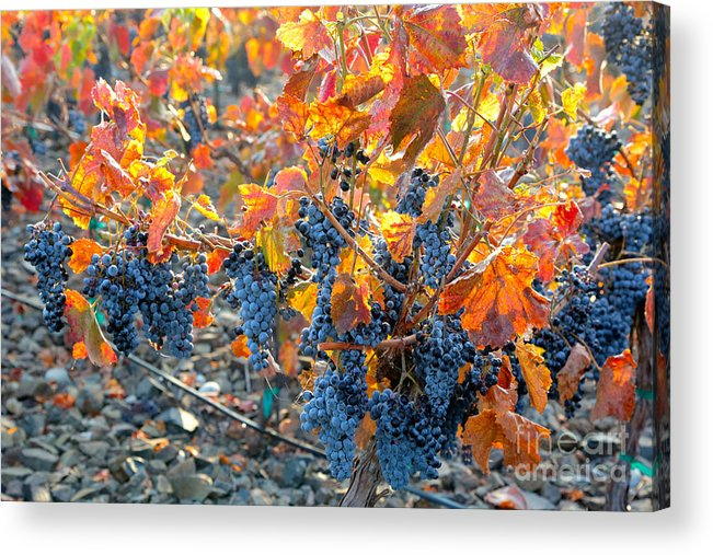 Grapes Acrylic Print featuring the photograph Autumn Vineyard Sunlight by Carol Groenen
