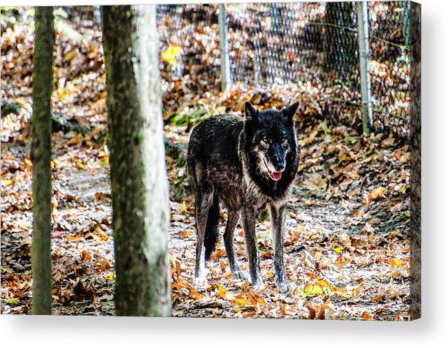 Wolf Acrylic Print featuring the photograph Autumn Wolf by Sheri Bartoszek