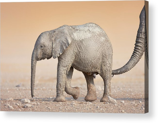 Wild Acrylic Print featuring the photograph Baby Elephant by Johan Swanepoel