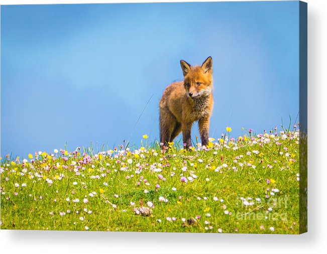 Baby Acrylic Print featuring the photograph Baby Fox In Field Of Flowers by Scott Carlin