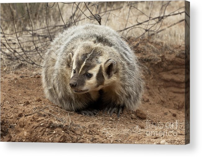 Badger Acrylic Print featuring the photograph Bad Attitude by Sandra Bronstein