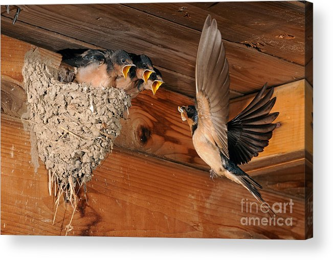 Barn Swallow Acrylic Print featuring the photograph Barn Swallow Nest by Scott Linstead