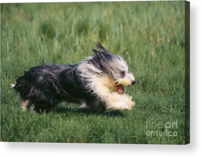 Bearded Collie Acrylic Print featuring the photograph Bearded Collie Dog by Jean-Michel Labat