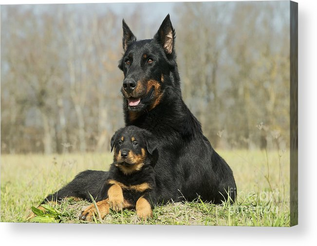 Beauceron With Puppy Dog Acrylic Print By Jean Michel Labat
