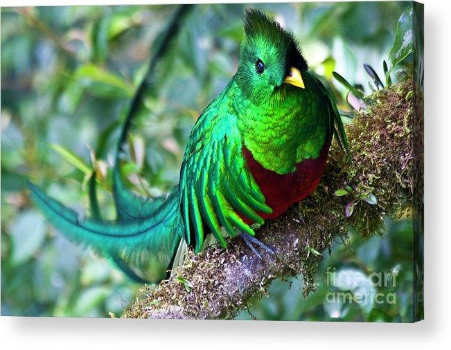 Bird Acrylic Print featuring the photograph Beautiful Quetzal 4 by Heiko Koehrer-Wagner