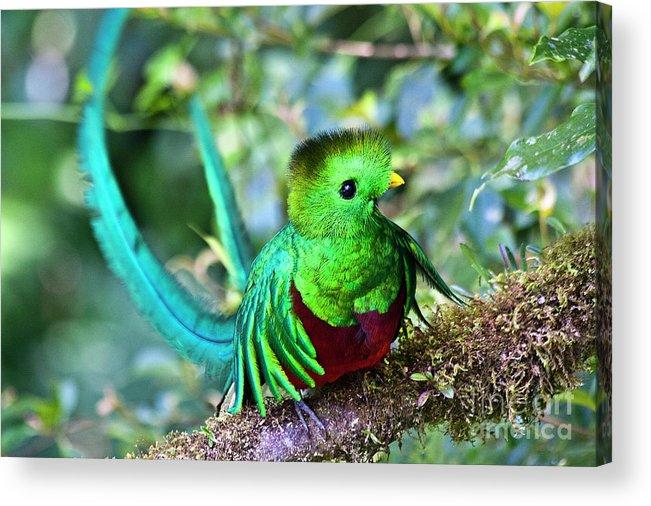 Bird Acrylic Print featuring the photograph Beautiful Quetzal 5 by Heiko Koehrer-Wagner