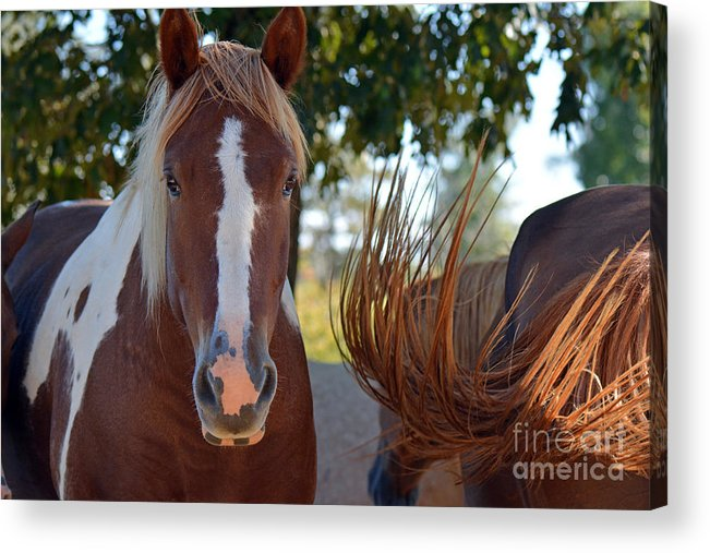 Horses Acrylic Print featuring the photograph Beauty And The Swish by Barb Dalton