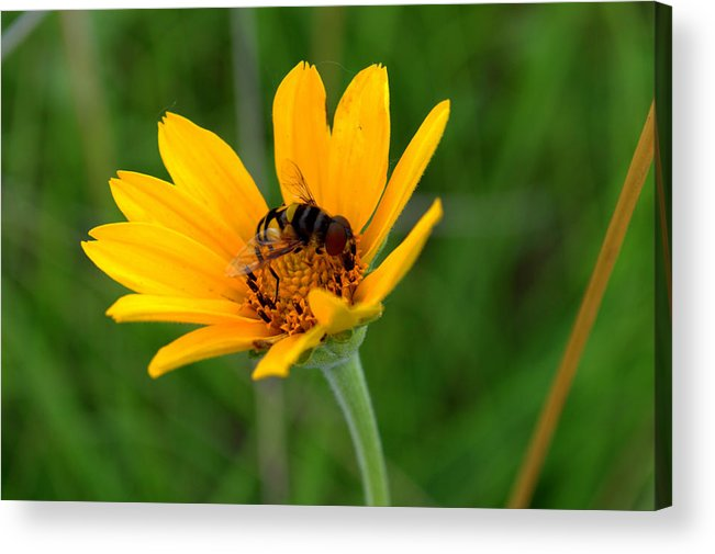 Smooth Oxeye Acrylic Print featuring the photograph Bee On A Smooth Oxeye by Mark Hudon