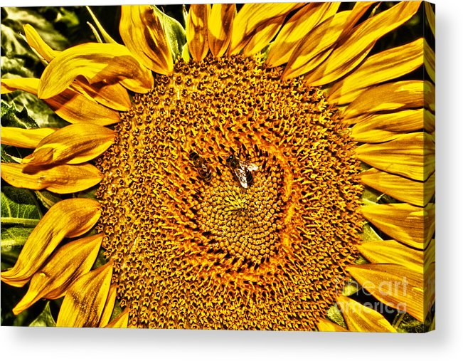 Flower Acrylic Print featuring the photograph Bees On Sunflower Hdr by Robert Frederick