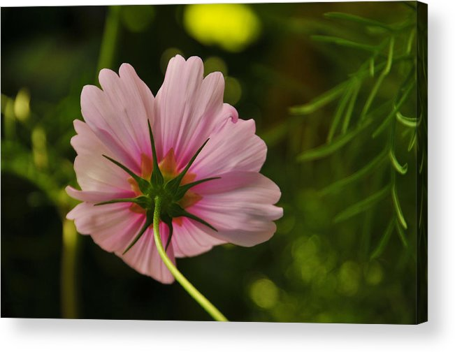 Flower Acrylic Print featuring the photograph Behind by Mike Martin
