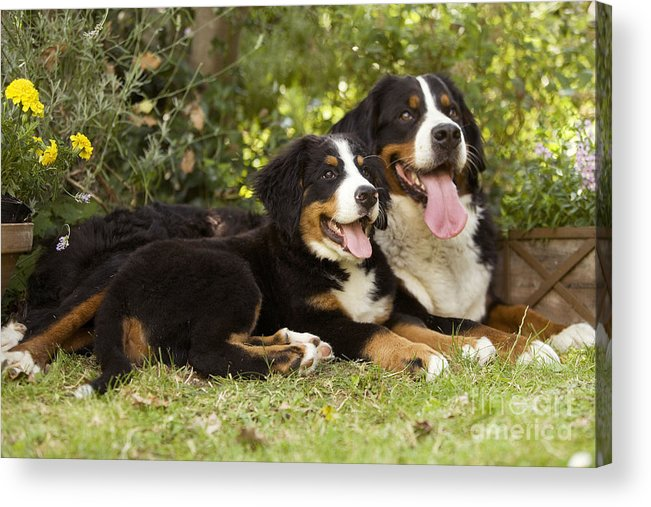 Bernese Mountain Dog Acrylic Print featuring the photograph Bernese Mountain Dogs by Jean-Michel Labat