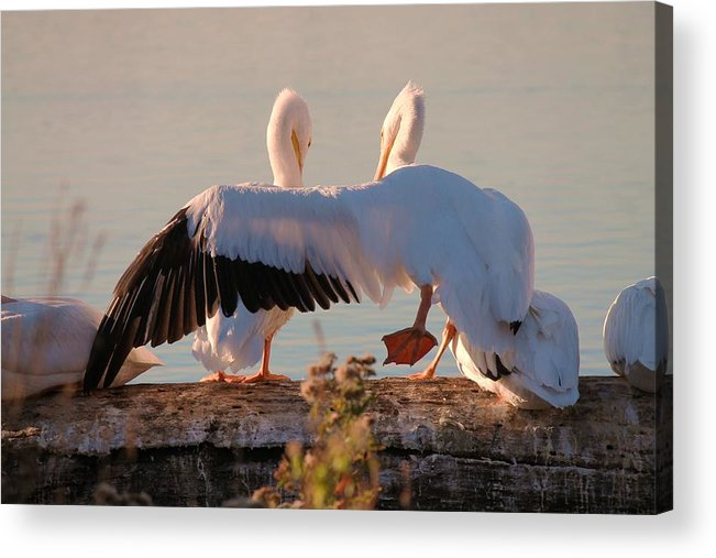 American White Pelican Acrylic Print featuring the photograph Best Friends by Lorri Crossno