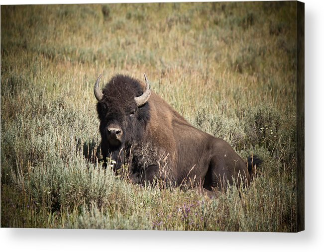 After We Watched A Buffalo Herd Cross The Lamar River In Yellowstone National Park Acrylic Print featuring the photograph Big Buff - Bison - Buffalo - Yellowstone National Park - Wyoming by Diane Mintle