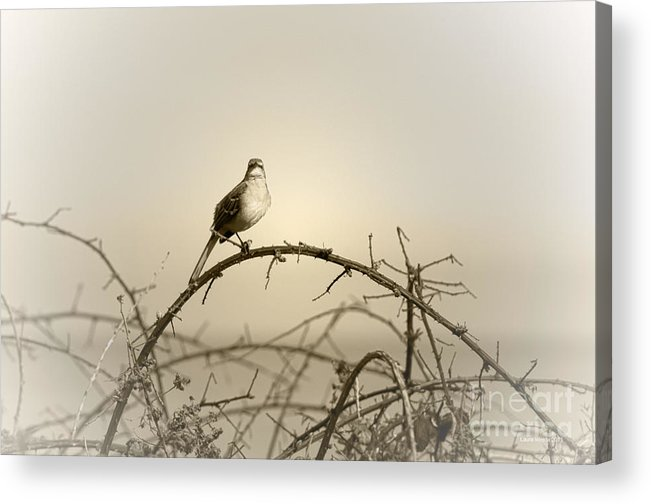 Songbird Acrylic Print featuring the photograph Bird In The Briar by Artist and Photographer Laura Wrede